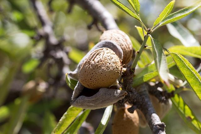 zralý plod mandlovníku