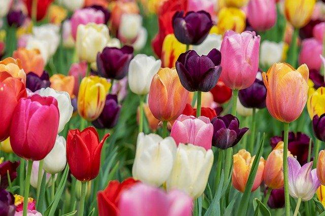 pohled na kvetoucí tulipány